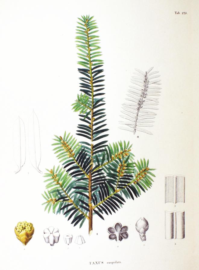 Japanese yew (Taxus cuspidata) - photo credit: wikimedia commons