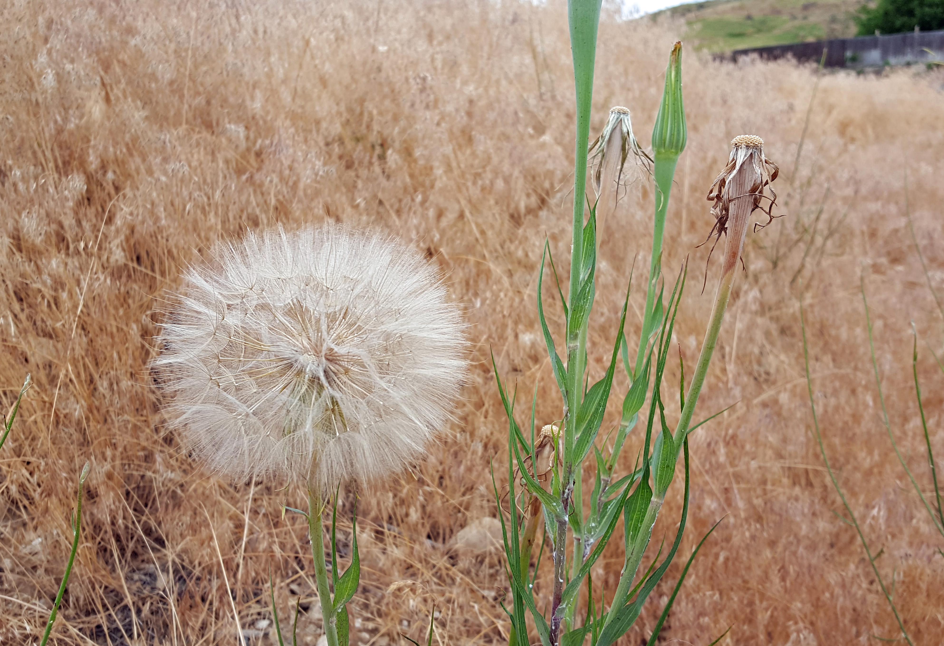 Summer of Weeds: Salsify – awkward botany