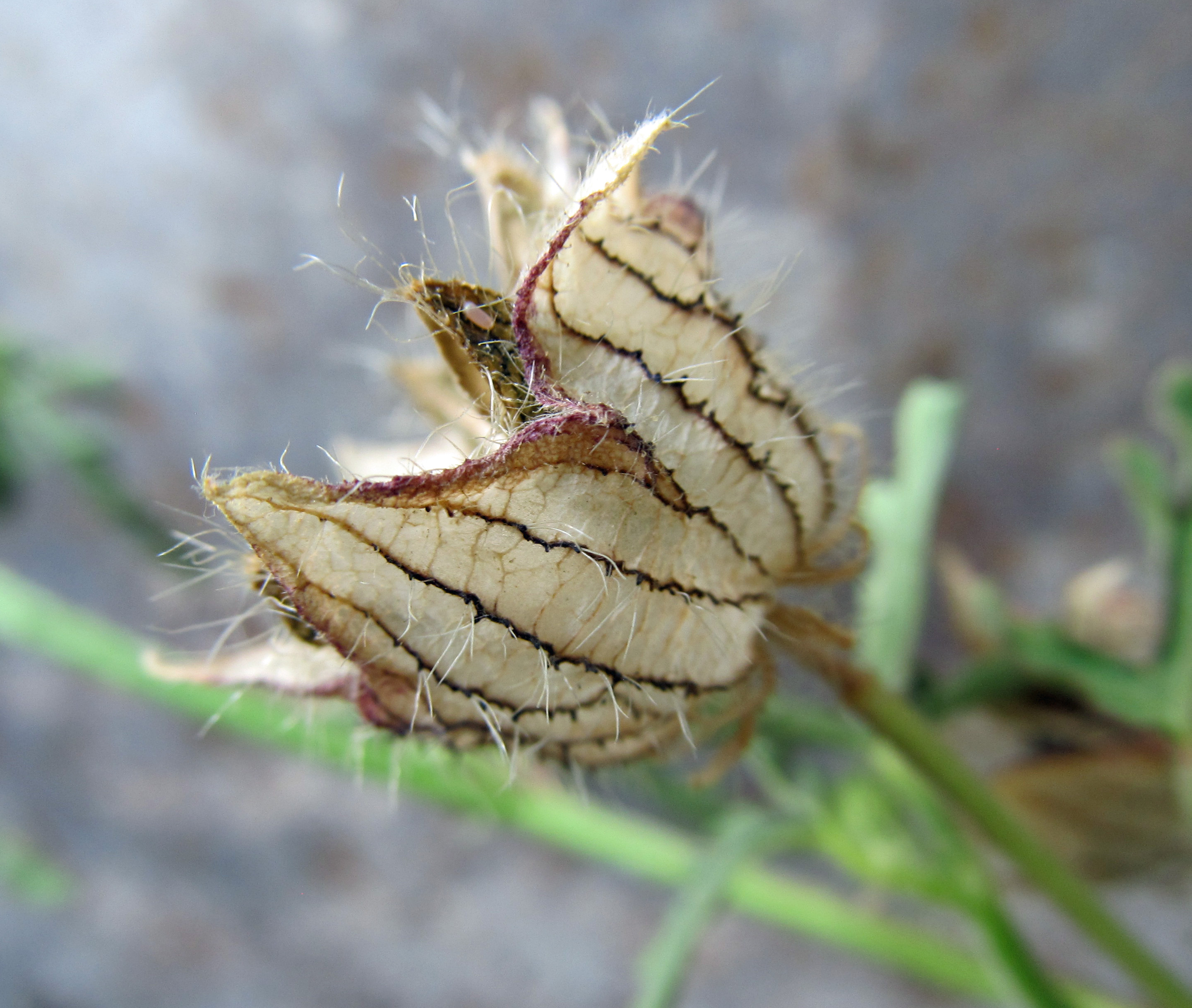 A Widespread Noxious Cool Season Annual: Summer Of Weeds: Flower Of An Hour