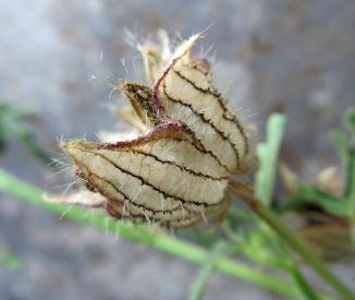 hibiscus trionum 4