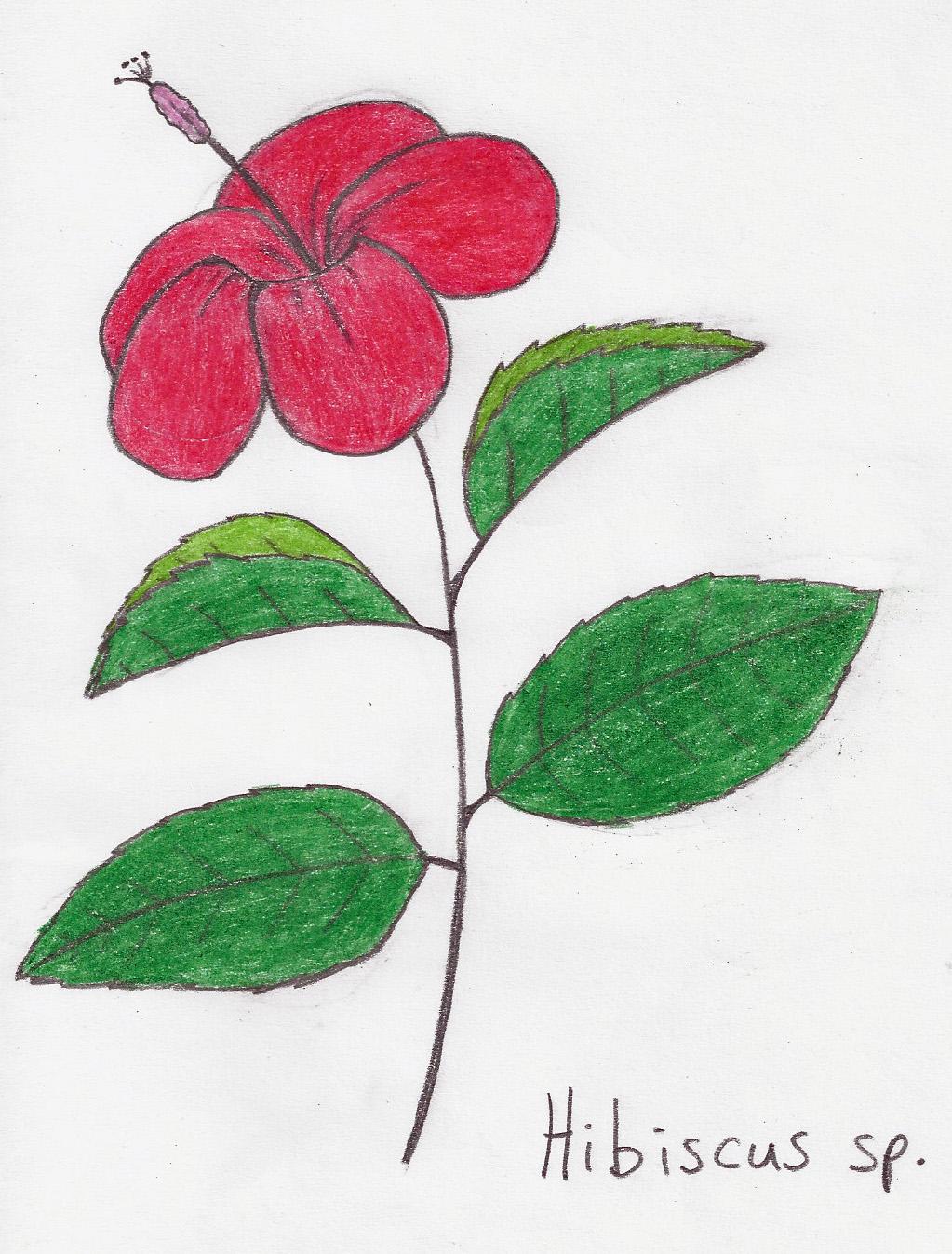 Hibiscus Awkward Botany