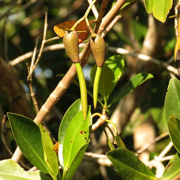 viviparous germination